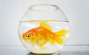 ماهی تُنگ بلور